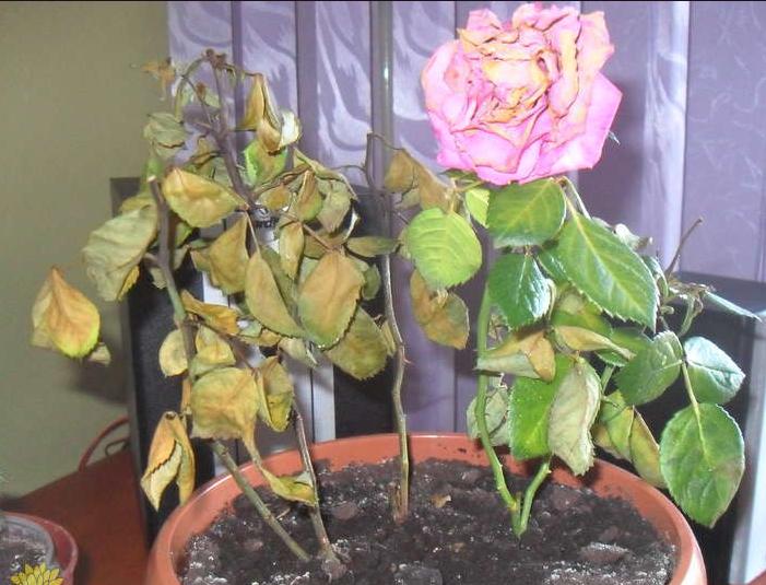 подзимний полив роз