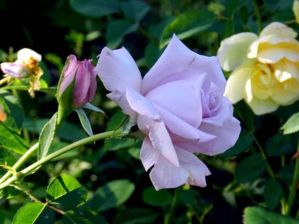 7222016120efae Herbata hybrydowa Rose Joro. Hybrid Tea Roses