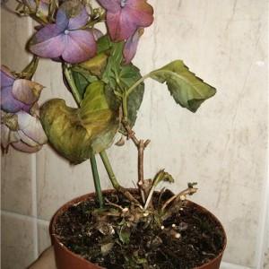 hortensias enfermedades Hortensia Rosa Habitacin Todo Sobre La Belleza De La